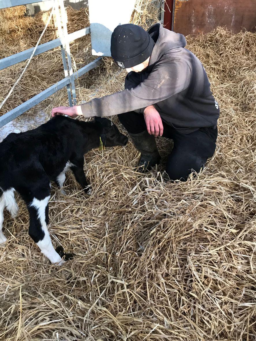 farming,calf rearing, animals, cows