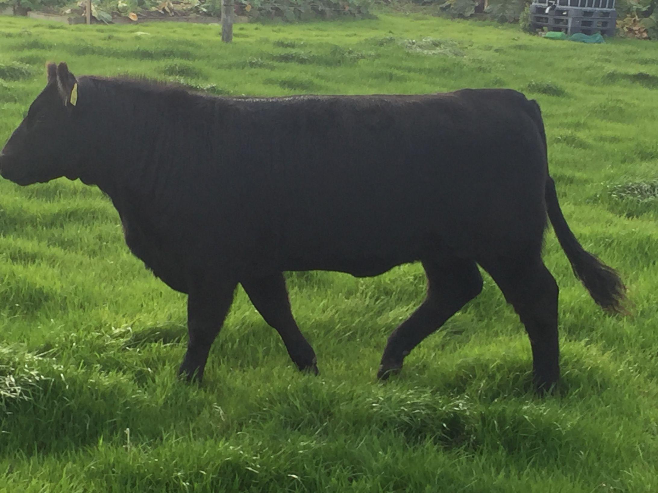 Angus, cattle, farming