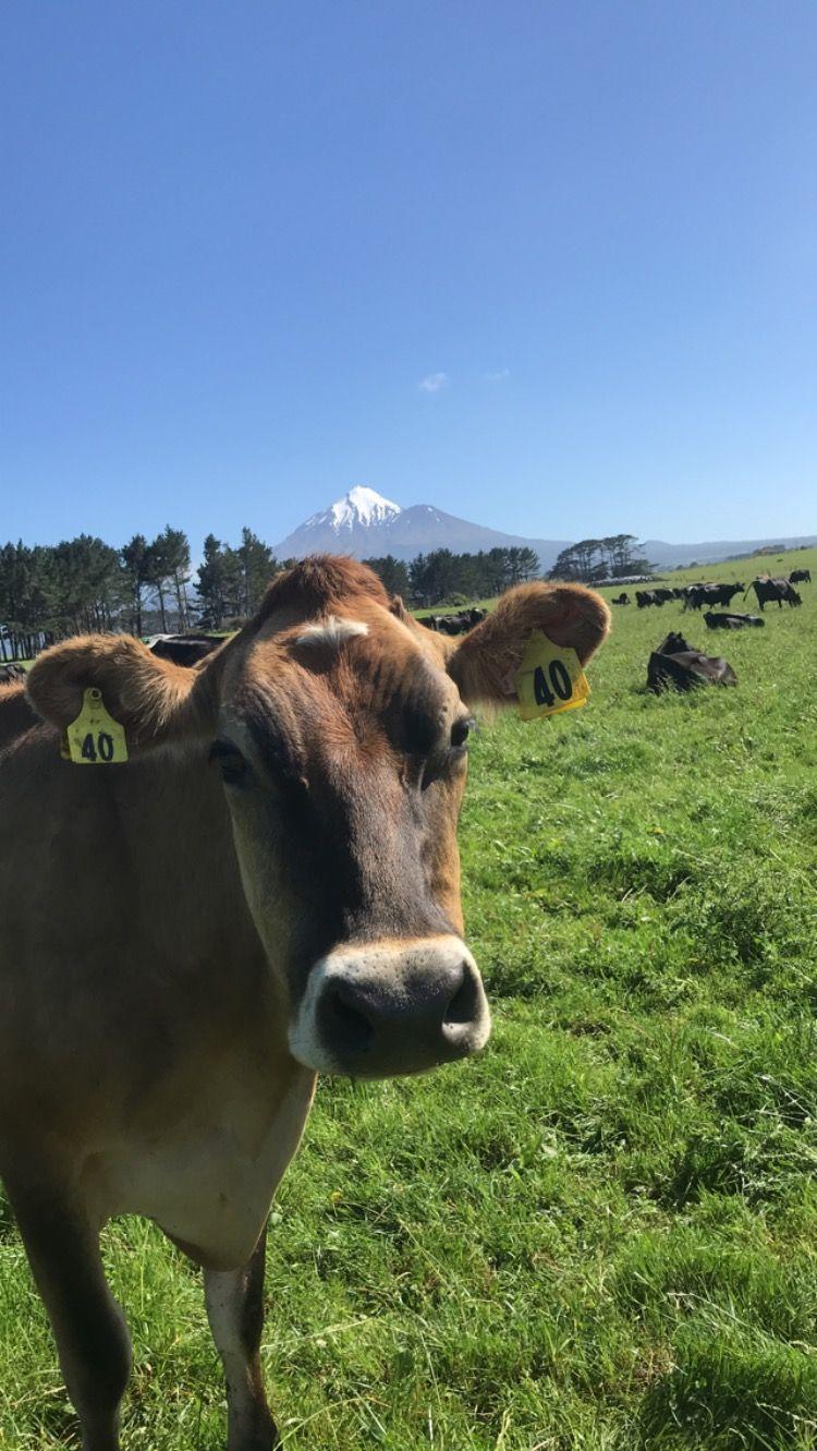 Jersey, cattle, cows, dairy farming, field, grassland management, farming news