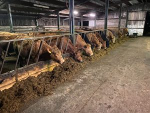 cattle, livestock shed, cattle shed,