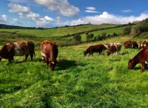 Clonina Beef Shorthorns, cattle, field, grazing, livestock,