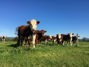 Hereford cattle, cows, field, grass