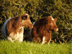 Clonina Beef Shorthorns