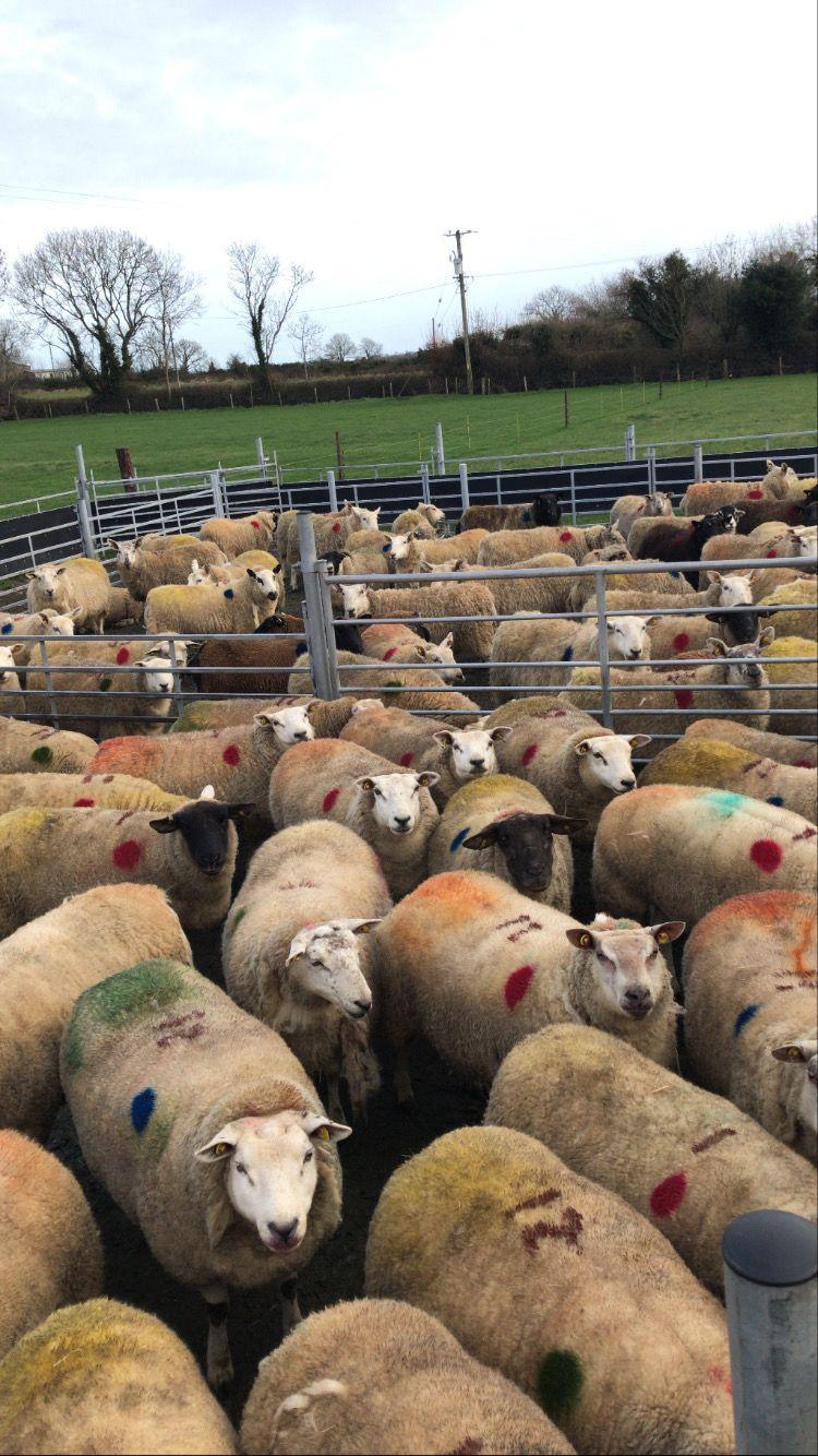Edward Earle, sheep farmer, sheep farming, sheep