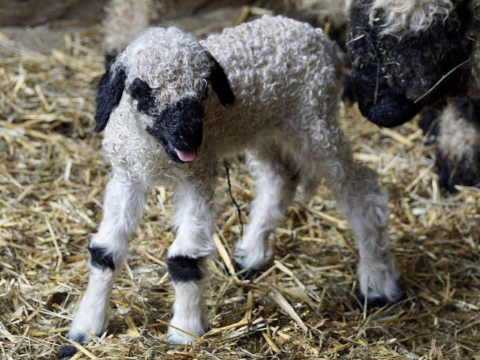 sheep, sheep farming, sheep farmers, Valais Blacknose, lambing season