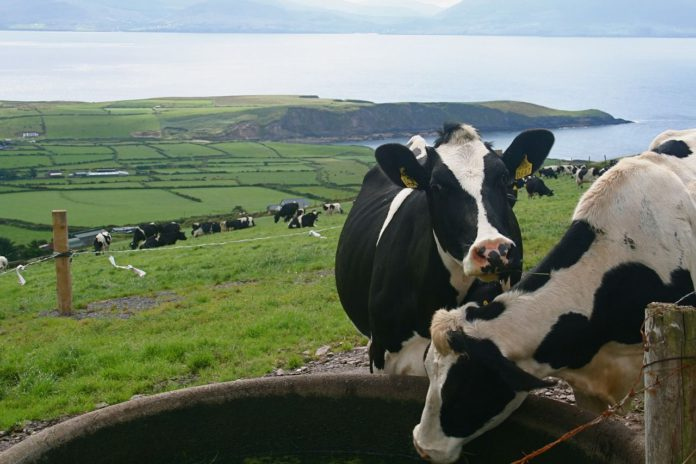 Dairy cows, dairy cattle, farming news, New Nitrates Regulations 2021, nitrates,