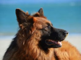 German Shepherd,dog