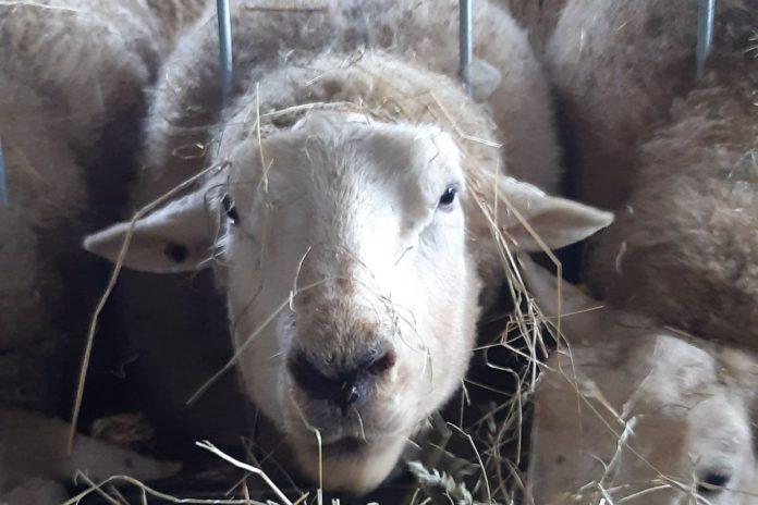 Sheep, sheep farming, sheep farmers, livestock, Clodagh Hughes