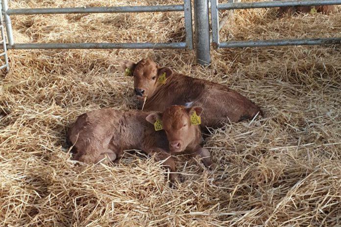 calving, calving essentials, farm, farming, straw,