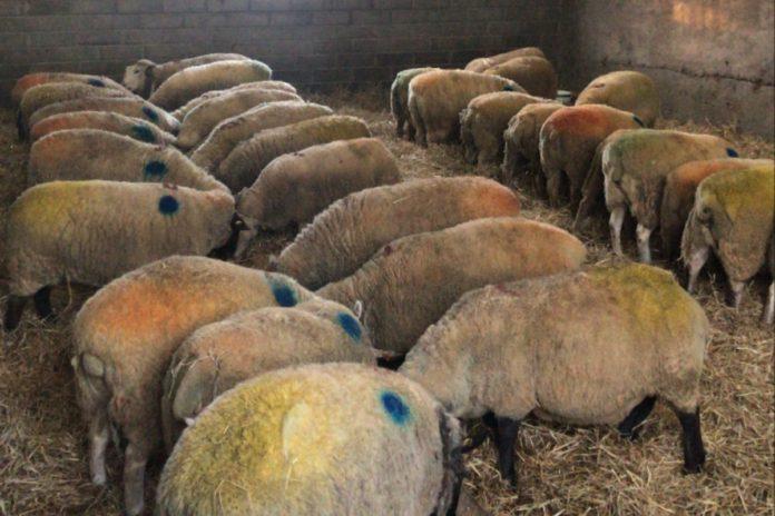 Edward Earle, sheep farming, sheep farmers, sheep, lambing 2021, lambing supplies, lambing equipment,