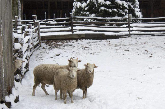 Sheep, sheep farming, snow by That's Farming