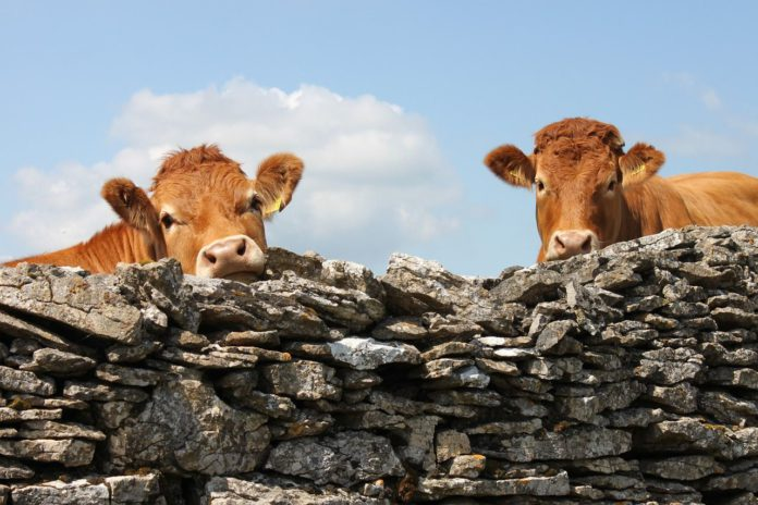 Cattle, cows, farming, field, agriculture