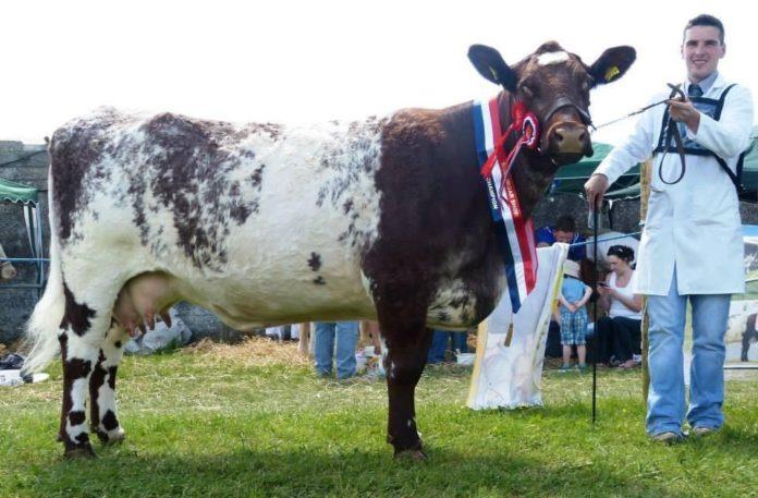 Shorthorn cattle in Ireland, Shorthorns, Kieran Flatley, farming news
