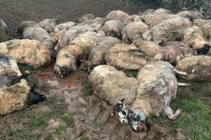 Sheep killed in Wales, sheep, sheep farming,