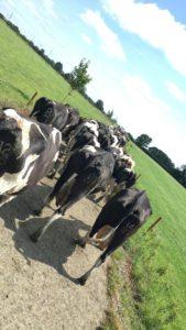 Dairy cows, dairy farming, dairy