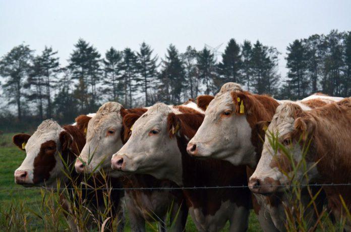 Cattle, Simmentals, Simmental cattle, farming news