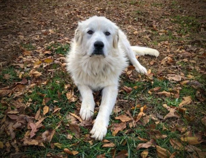 Great Pyrenees dog, livestock guardian breeds, farming news