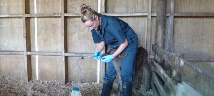 dairy farming, tube feeding calves,