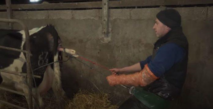 Calving Assist, calving cows, dairy farming, farming, calving 2021