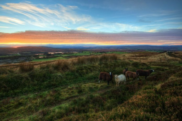 Sheep, sheep farming, sheep farmers, sheep grazing