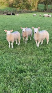 Sheep, field, lambs