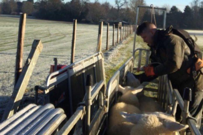 suckler farming, sucklers, sheep farming, sheep farmer