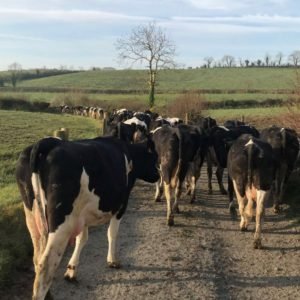 Dairy cows, dairy farming, new dairy entrants, dairy farming in Ireland, Irish dairy farmers