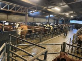 Carnew Mart, cattle prices, beef prices, mart reports, mart prices, mart yard