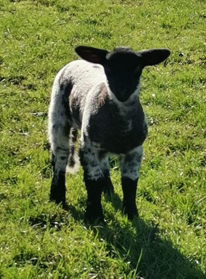 sheep, sheep farming, sheep farmer, dog attack