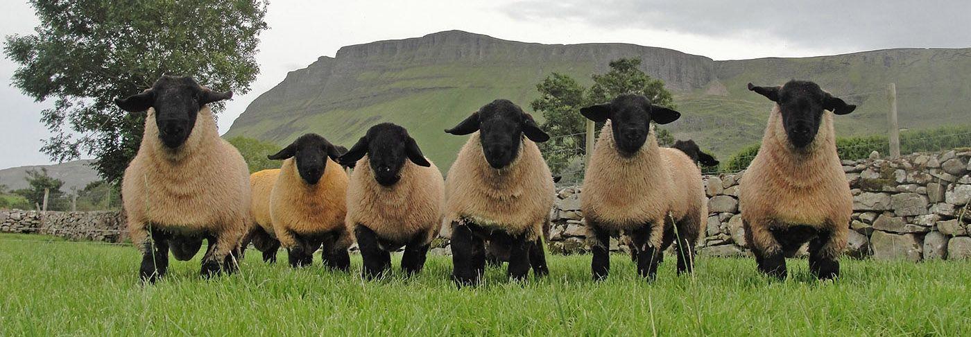 Irish Suffolk Sheep Society, sheep farming, sheep breeders
