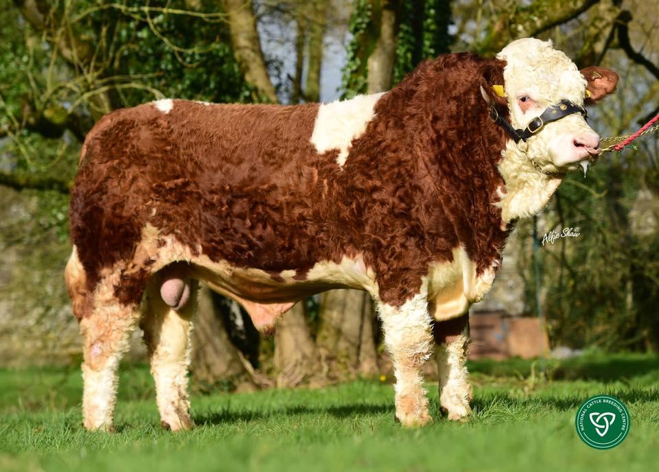 Leeherd Jake, Simmental bulls, Simmental cattle, Irish Simmental Cattle Society, Leeherd Jake
