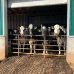 HurriCann Holsteins, Cann family farm, farming in Canada