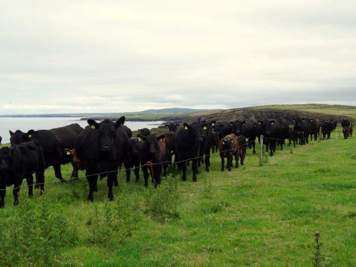 Goulding Angus, pedigree cattle, breeding cattle, livestock, Angus cows, grassland management