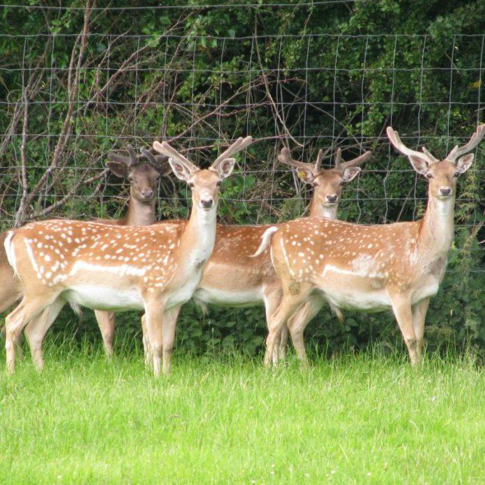 Coopershill Estate, deer, deer farming, Sligo