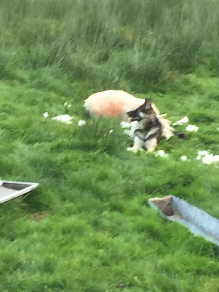 dog attack, sheep, sheep farming, sheep farmer, sheep flock, field