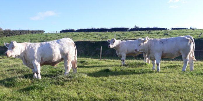 Fieldview Charolais, suckler farming, sucklers, Suckler Focus, Charolais cattle in Ireland