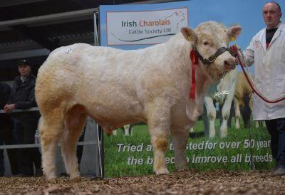 Fieldview Pedro, Charolais, Charolais cattle, suckler farming, sucklers, Charolais Society Premier Show and Sale, pedigree bulls, pedigree breeding