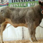 Charolais, suckler farming, Carrick Winter Fair, sucklers,