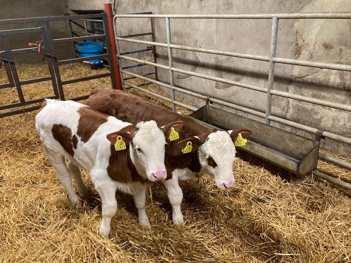 Montbeliarde Cattle Society of Ireland, Montbeliarde, calves, dairy calves, dual-purpose calves, calving season