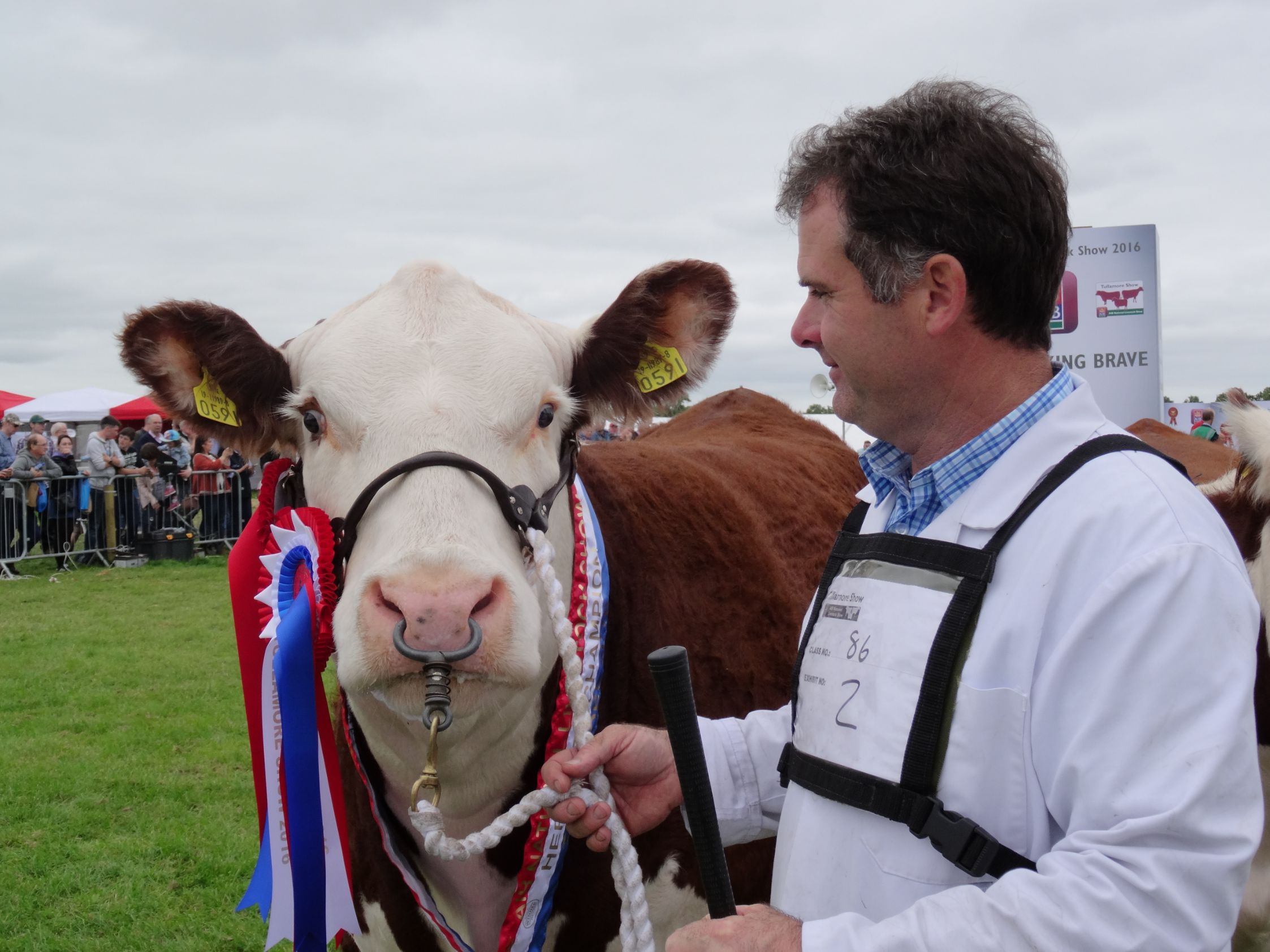 National Hereford Champion Gouldingpoll 1 Duchess, Hereford, polled Hereford cattle, pedigree breeding