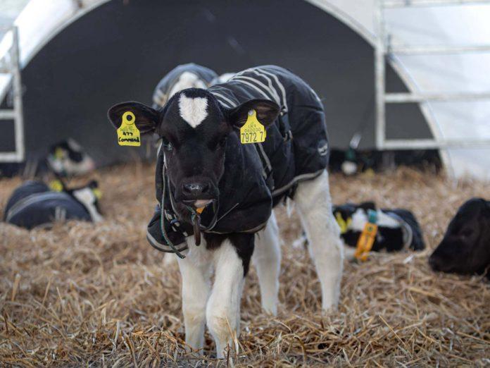calf shed, calf housing, calves, calving 2021