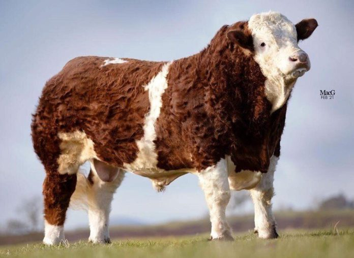 MacGregor Photography,Pistyll Kingsman 19, Simmental, pedigree cattle