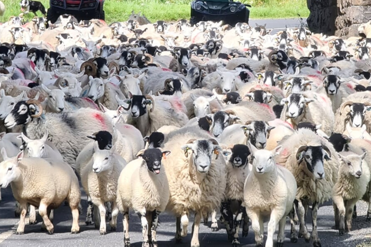 sheep farmer, sheep farming, sheep on road