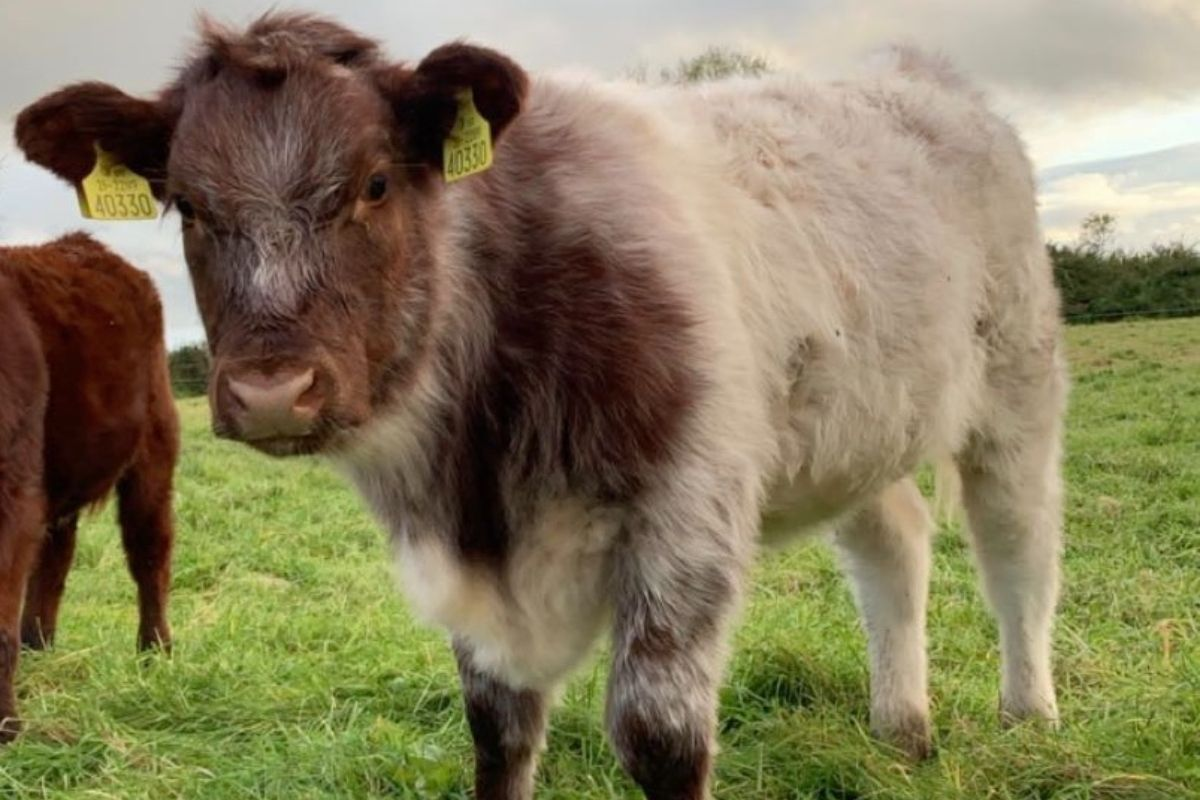 Shorthorn, Lismacool Pedigree Shorthorn and Angus, cattle, sucklers, Suckler Focus, suckler farming