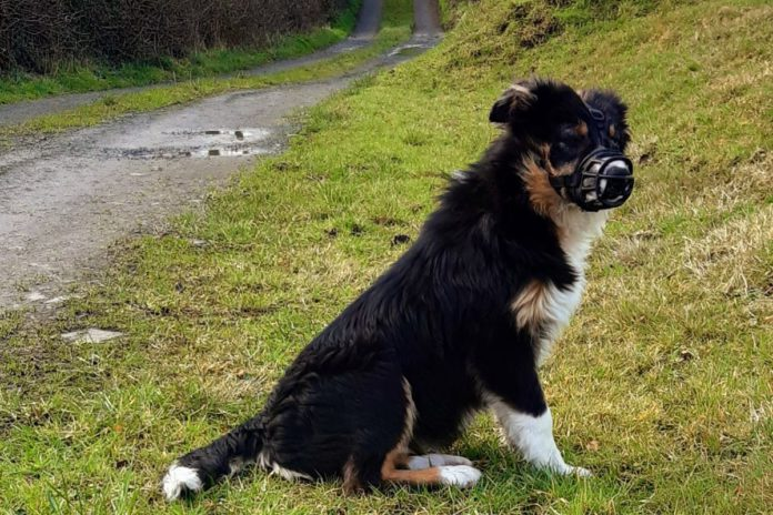 Clodagh, Hughes, sheep farmer, sheep farming, sheepdog, muzzle on dog, dog training,