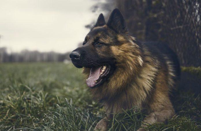 Dog attacks, sheep, sheep farming,