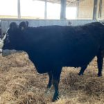 Salesian Agricultural College dispersal sale, sucklers, suckler farming, in-calf heifers,