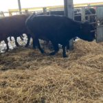 heifers, sucklers, cattle for sale, springers for sale,