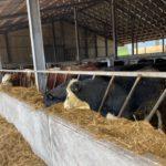 livestock buildings, Salesian Agricultural College dispersal sale, sucklers, suckler farming, in-calf heifers,