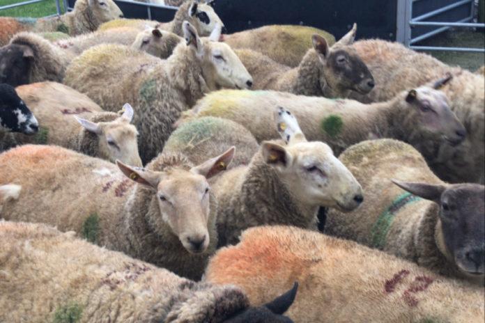 Edward Earle, ewe lambs, sheep, sheep farmer, sheep farming, lambing 2021, lambing ewe lambs